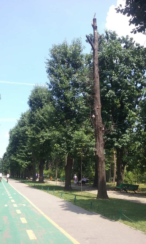 aliniament Herastrau arbore uscat